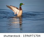 A Male Mallard Duck  Anas...