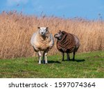 Two Woolly Sheep  Ovis Aries  ...