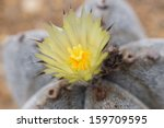 Blossoming Cactus Flower