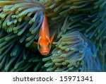 Clownfish In A Magnificient Se...