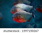 Red bellied piranha pygocentrus ...