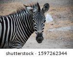 Small photo of Zebra in Savanna. Zebra at farm. Zebra in the Zoo. Wild life Zebra.