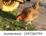 Young Red Hen With A Long...