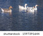 Four Geese In The Water