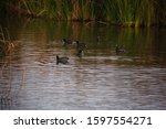 Coots Swimming In Pond At Clark ...