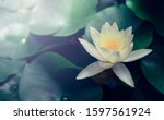 Vivid Water Lily Blooms In...