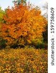 Maple Tree In Autumn Colors