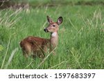 Closeup Deer Fawn That I Walke...