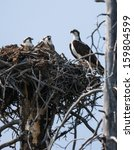 Osprey Nest Yellowstone...
