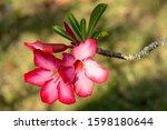 Beautiful Pink Desert Rose Or...