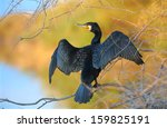 Great Cormorant  Spreading Its...