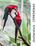 Red And Green Macaw Or Green...