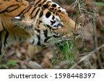 Female Tiger  Panthera Tigris ...