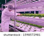 Small photo of Vertical farm(indoor farm) researcher takes care of vegetables growing on vertical farm. Vertical farming is sustainable agriculture for future food.