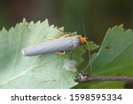 Small photo of Manulea complana, commonly known as the scarce footman moth
