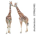giraffes isolated | Shutterstock . vector #159862481
