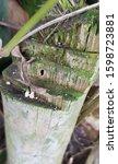 Small photo of Chlorophorus annularis damaging bamboo stems