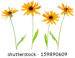 Four Flower Yellow Coneflower...