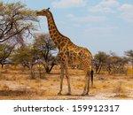 Eating Giraffe On Safari Wild...