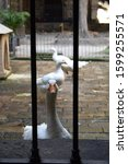 Tame Geese In Stone Courtyard...