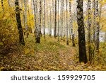 Birch With Yellow Leaves On Th...