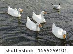 Geese Swim In The Water. Group...