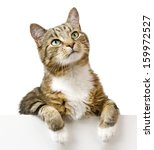 Stock photo cat looking up above white banner 159972527