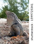Small photo of Large iguana in Cayo Largo, Cuba