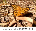 Common Brown Butterfly ...