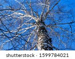 Birch Tree Without Leaves ...