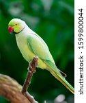A Rose Ringed Parakeet ...