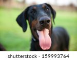 the doberman pinscher  an... | Shutterstock . vector #159993764