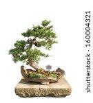Bonsai tree with white background - Chinese juniper