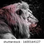 Lion With Blood On His Face...
