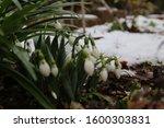 Beautiful Snowdrop Flower Amon...
