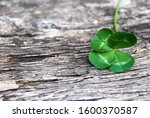 Real Green Four Leaf Clover On...
