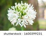 White Agapanthus Close Up...