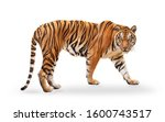 Small photo of royal tiger (P. t. corbetti) isolated on white background clipping path included. The tiger is staring at its prey. Hunter concept.