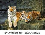tigers are in the nature of the ... | Shutterstock . vector #160098521