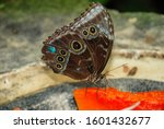 Close Up Of An Owl Butterfly ...