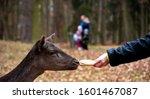 Feeding Fallow Deer  Family...