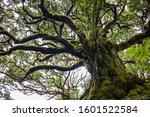 Mystical Ancient Laurel Tree...