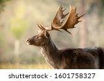 Fallow Deer At First Light In...