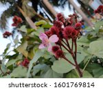 Small photo of Medicinal plant - Lipstick tree. Scientific name - Bixa orellana. Used in the treatment of intermittent fever, gonorrhoea, dysentery etc. Seeds are used in making red body paint and lipstick.
