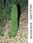 Small photo of Garden hybrid cactus of Trichocereus Grandiflorus, Argentina native