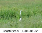 Great Egret Shown Hunting In A...