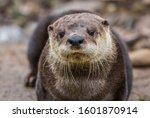 North American River Otter ...
