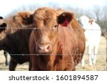 Red Cow Behind A Barbed Wire...