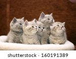 Stock photo group of cute gray british kittens 160191389