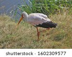 The Yellow Billed Stork ...